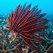 Diving in Bali - feather sea star