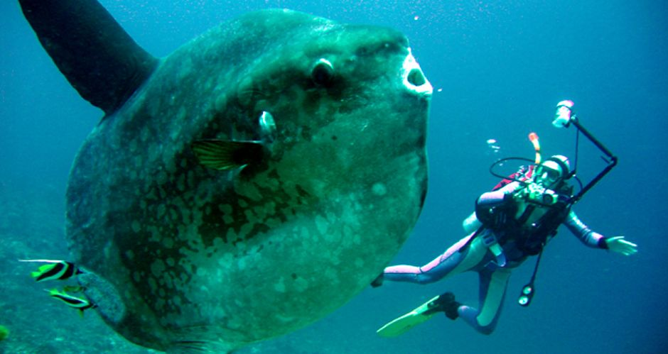 Diving Bali Mola Mola Sunfish