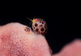 Diving Safari Around Bali 13 Days Lady Bug