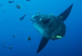 OK Divers specials Mola Mola Sunfish