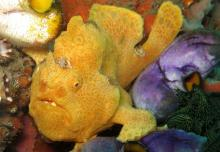 Bali Underwater Frogfish in Bali