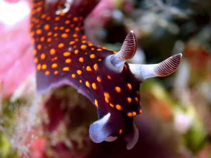 Diving in Bali - Kubu nudibranch