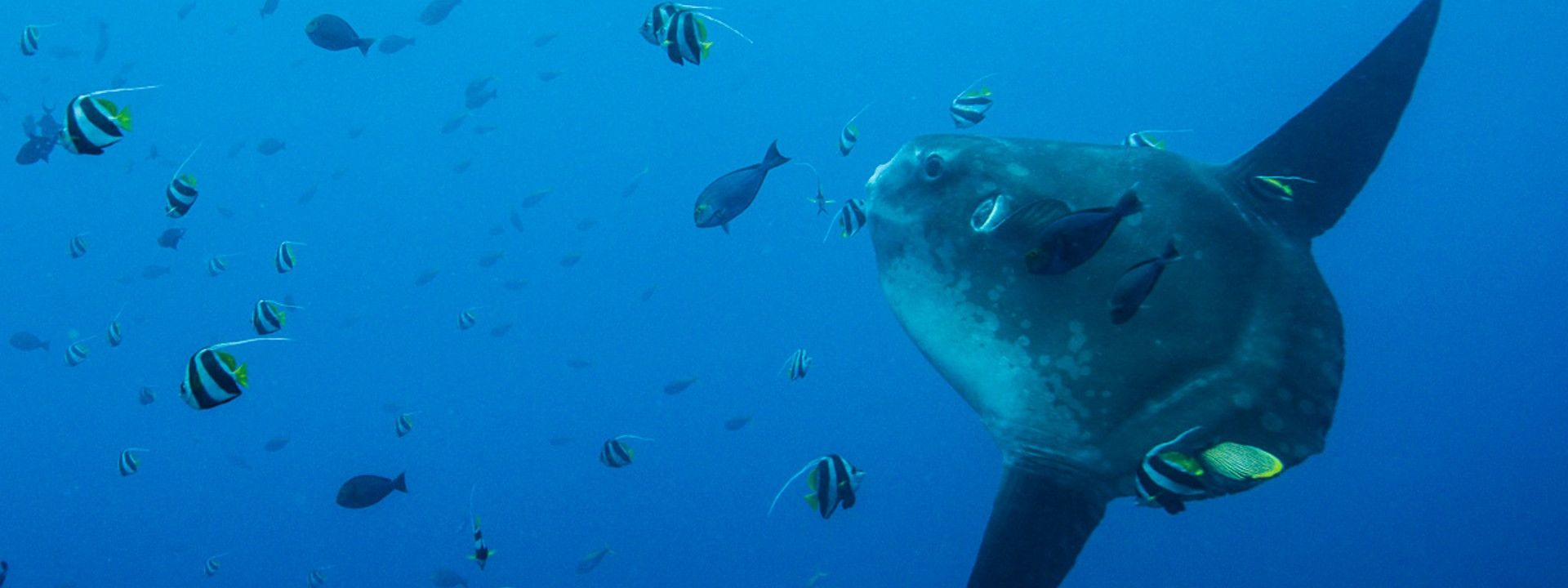Diving With Mola Mola In Bali