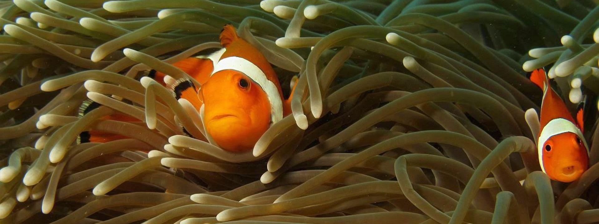 Bali Clown Fish - NEMO